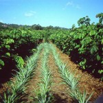 Pineapple grown as a cash crop using Inga alley cropping
