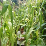 Healthy maize plants
