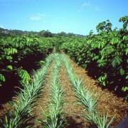 Pineapples growing in Inga alleys