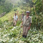 Farmers pruning and mulching an Inga alley plot