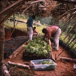 An Inga Tree Nursery