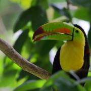 Keel-billed Toucan, Pico Bonito