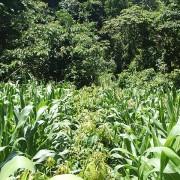 El maíz está maduro y listo para la cosecha