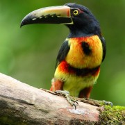 Collared Aracari, Pico Bonito (Photo by James Adams)