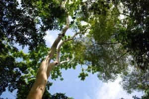 Guayabon-Guapinol-canopy (1)