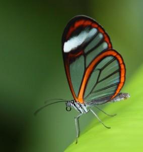 Glasswing Butterfly, Pico Bontio