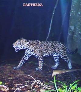 Jaguar in Pico Bonito (Photo: Pathera)