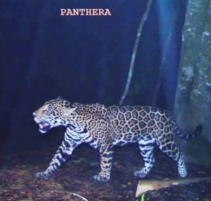 A Jaguar captured by Panthera's camera traps just minutes from were we work on the border of Pico Bonito National Park