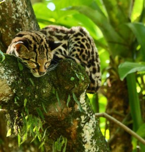When it comes to big cats, its not just Jaguars that can be found in Pico Bonito. Its also home to Pumas, Panthers, Ocelots and Margays.