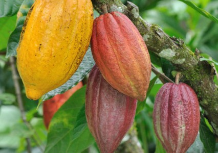 Alongside Inga alley cropping, we are also helping families plant cacao orchards with Inga as a shade tree.