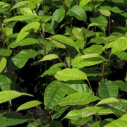 Mahogany Seedlings for Reforestation