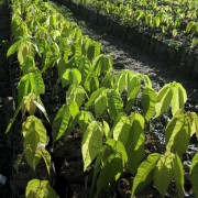 Cacao seedlings soaking up the morning sun in our tree nursery