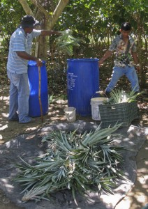 Disinfecting pineapple plants with the organic pesticides before planting them out into the Inga alleys on our Demo Farm